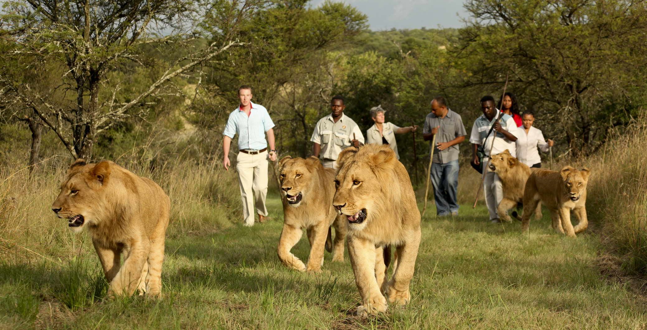 Experience a Walk with Lions at Casela